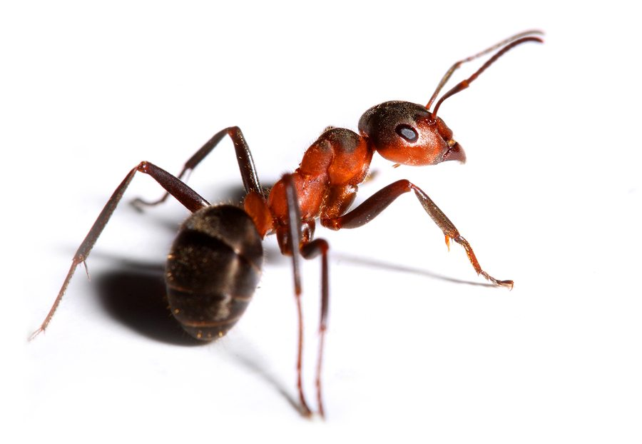 Big Red Ant